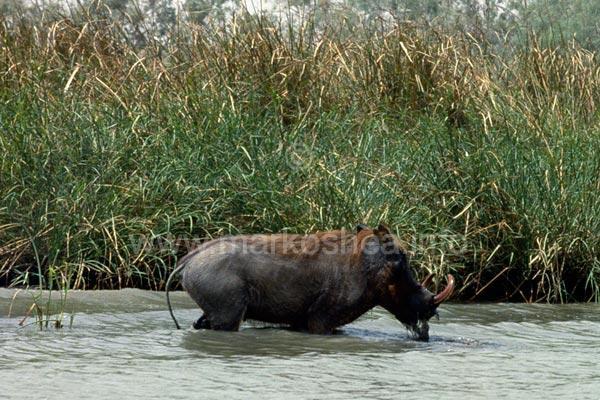 common warthog. Common warthog, Phacochoerus